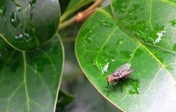 House fly on privet leaf stock image