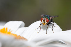 House fly at rest on a daisy petal royalty free stock images
