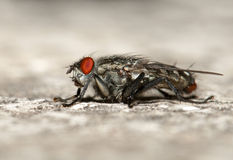 House fly. In sid view Stock Photos