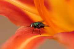 House fly in Sider Lily Stock Images