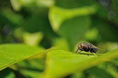 House fly sitting on green leaf Stock Images