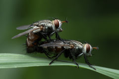 House fly in Southeast Asia. House fly on the green leaf Stock Image