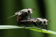 House fly in Southeast Asia. House fly on the green leaf Stock Photo