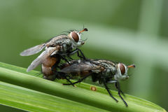 House fly in Southeast Asia. House fly on the green leaf Stock Photography