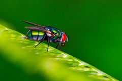 House Fly Spit Ball. House fly on leaf. Note the spit used for digestion at the entrance to his mouth Stock Photos