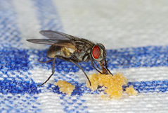 House fly sucking crumbles. House fly (Musca domestica) sucking crumbles on a table-cloth Stock Photo