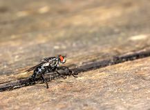 House fly. Summer. Stock Photography
