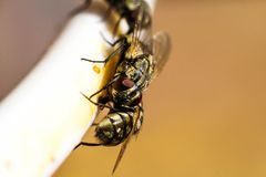 House fly swarm Food close-up. 12/31/2017 Stock Photography