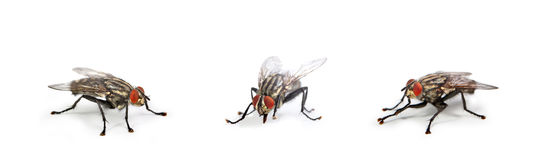 House fly. On white background royalty free stock photos