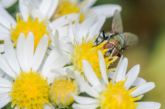 House Fly on White and Yellow Flowers. Bottle or Blow Fly on a bed of white and yellow flowers Royalty Free Stock Photography