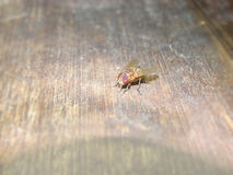 House fly on the wooden floor. House fly sitting on the wooden floor Royalty Free Stock Images