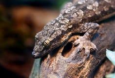 House Gecko Stock Photography