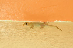 House Gecko (Hemidactylus frenatus) Stock Image