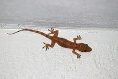 House Gecko (Hemidactylus frenatus) Stock Photography
