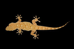 House gecko lizard Stock Image