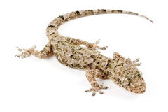 House gecko Royalty Free Stock Photo