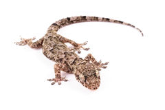 House gecko Stock Photography