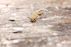 House gecko. Sitting on old wood stock photo