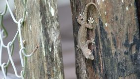 House gecko on the wood stock footage