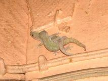 House Geckos (Hemidactylus frenatus) Stock Image