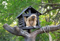 The house of gibbons. The house of gibbons on the woods, the forest atmosphere in zoo Stock Photography