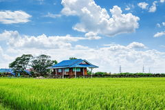 House in green rice field. Tropical rice field in Thailand royalty free stock image