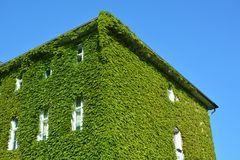 House with Green Walls. Urban house with walls covered with natural green plants royalty free stock photo