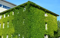 House with Green Walls. Urban house with walls covered with natural green plants royalty free stock photos