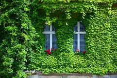 House with Green Walls. Urban house with walls covered with natural green plants stock photos