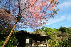 House with Himalayan Cherry Blossom Flower. In Thailand Stock Photos