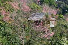House with Himalayan Cherry Blossom Flower. In Thailand Royalty Free Stock Photography