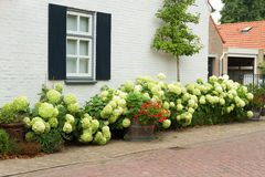 House with Hydrangea flowers. House in village with white blooming Hydrangea bushes and fruit espalier in summer Royalty Free Stock Photos