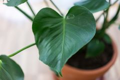 House indoor plant in ton pot close up leaf. View Royalty Free Stock Photo