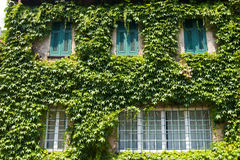 House with ivy Royalty Free Stock Photography