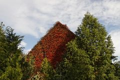 House with Japanese creeper, Germany Stock Photography