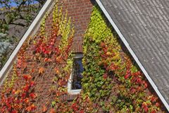 House with Japanese creeper, Woodbine in Germany Stock Images