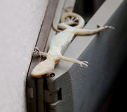 House lizard Stock Photos