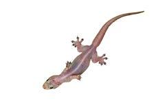 House lizard - gekco Stock Photos