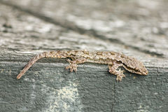 House lizard Royalty Free Stock Images