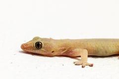 House lizard Royalty Free Stock Photos