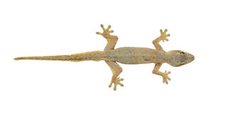 House lizard Stock Photography
