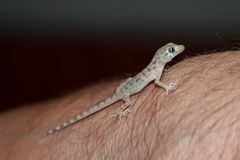 House lizard or little gecko on a human hand. royalty free stock photo