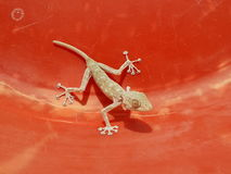 House lizard on red surface. Tailless home lizard inside the red basin Stock Images