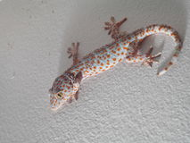 House lizard wild gecko climbing on house wall selective focus nightspot with flashlight. Yellow brown with red orange dots on the rough skin, house lizard wild Royalty Free Stock Image