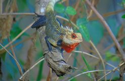 House Lizard Yala national park stock images