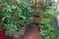 House with many plant and red ripe tomatoes Royalty Free Stock Photos