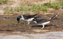 House martin Royalty Free Stock Photo
