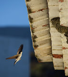 House martin caught in mid flight. Royalty Free Stock Photos