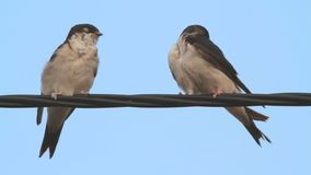 House Martin couple stock video