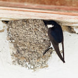 House Martin, Delichon urbica Stock Photo